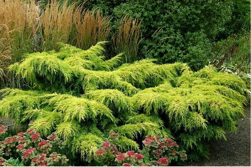 Можжевельник горизонтальный из Greensad в ландшафтном дизайне
