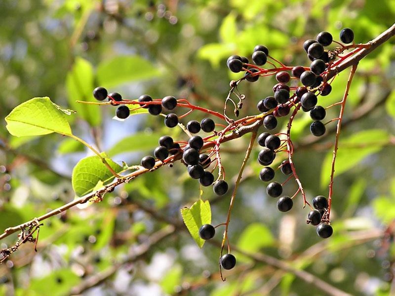 Растительная пудра для лица из плодов черемухи