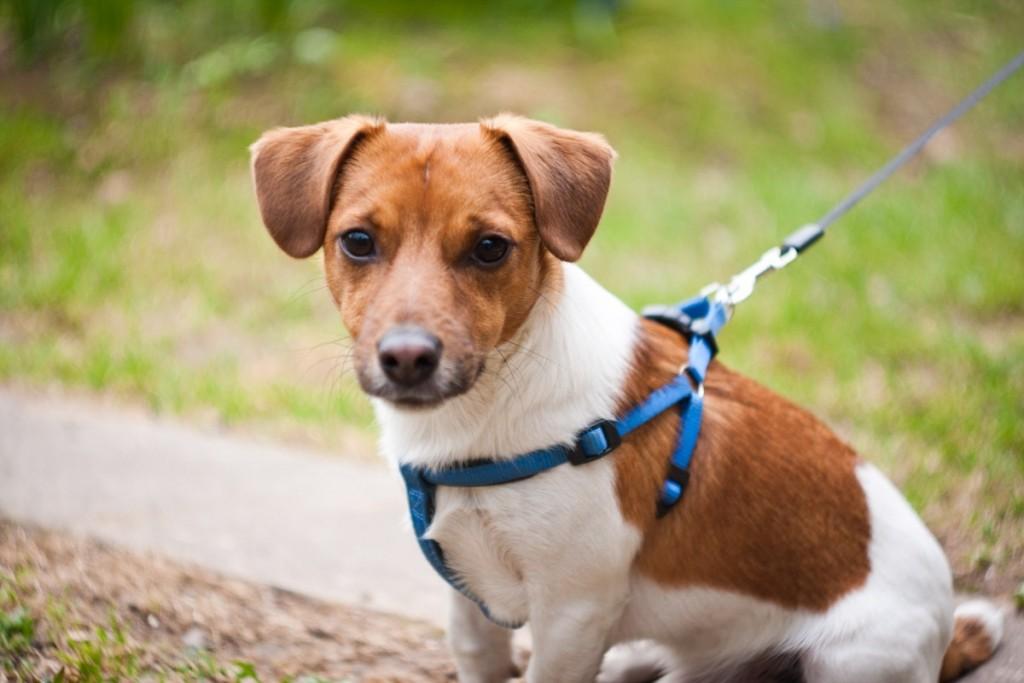 Джек рассел терьер – собака для норной охоты