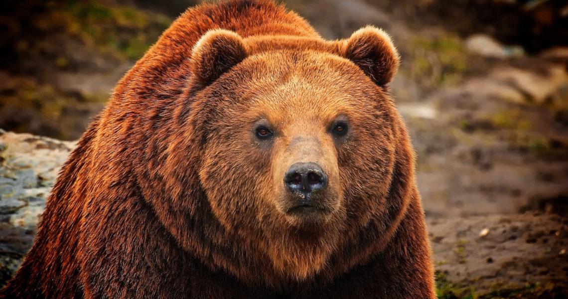 помощь медвежьей желчи